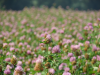 Variety of red clover Callisto
