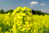 Oilseed rape Orex